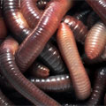 Lumbricus rubellus ή California Red worm